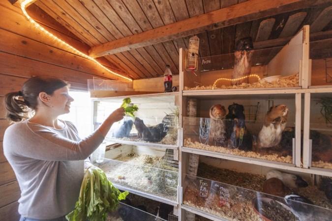 38 cavia's in een tuinhuis: 'Mijn man veroverde mijn hart met twee kroppen andijvie voor de diertjes'