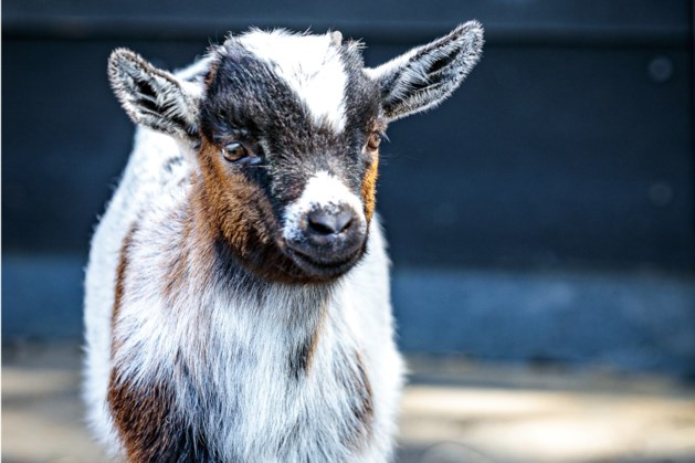 Een grasmaaier of geitjes? In Sint Odiliënberg kozen ze voor de geitjes