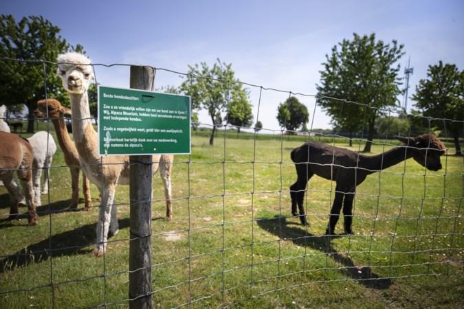 Loslopende honden jagen alpaca's stuipen op het lijf: 'Bij stress is kans op miskraam aanzienlijk'