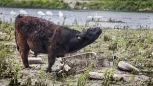 Maasuiterwaarden bieden bij Borgharen een trieste aanblik: honderden autobanden onder laagje van modder