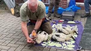 Video: Drie jonge ooievaars geringd in Ottersum