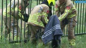 Video: Brandweer bevrijdt ree in Swalmen