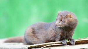 Alarm rond nertsen in de Peel; brandbrief dierenartsen naar minister Schouten
