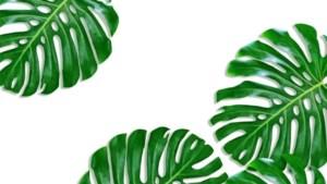 Opgepast: deze planten zijn giftig, ook die hippe 'gatenplant'