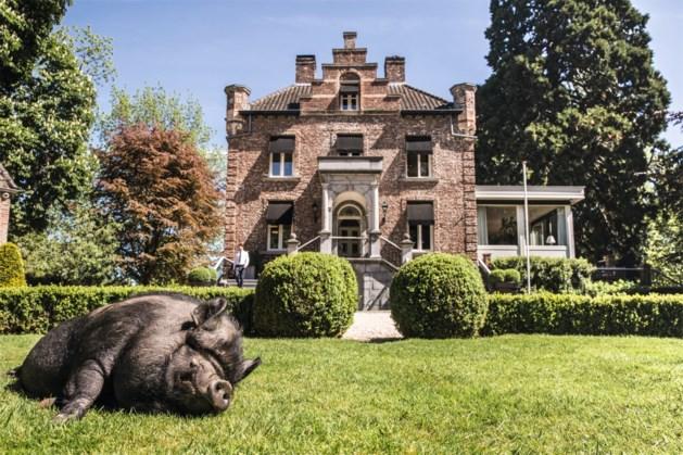 Hangbuikzwijn Luuk is de publiekstrekker van Kasteeltje Hattem in Roermond