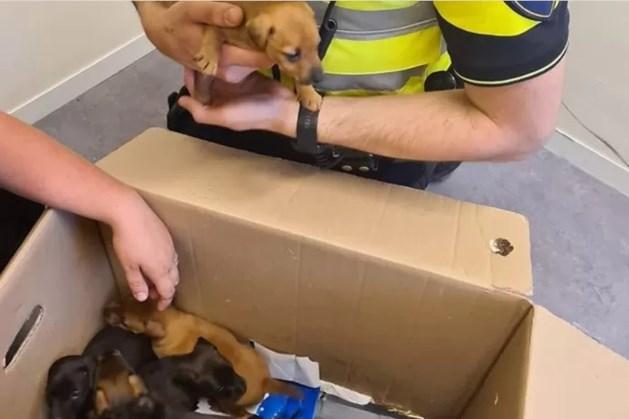 Tien gestolen puppy's teruggevonden, verdachte in beeld