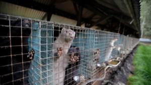 Viroloog Wim van der Poel: 'Corona via je kat? De kans blijft klein'