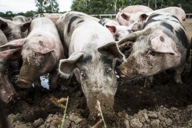 Rijk koopt ruim vierhonderd varkensboeren uit