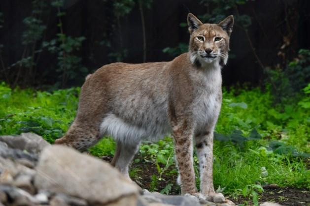 Het adoptiecertificaat van lynx Apache hangt naast de kinderfoto's