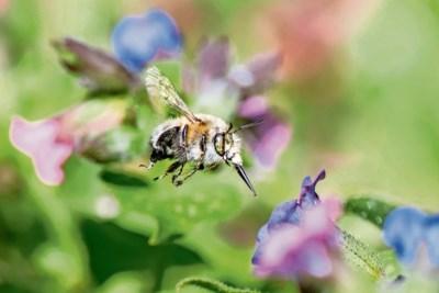 Wilde bijen hebben het moeilijk, maar zo kun je het beestje helpen