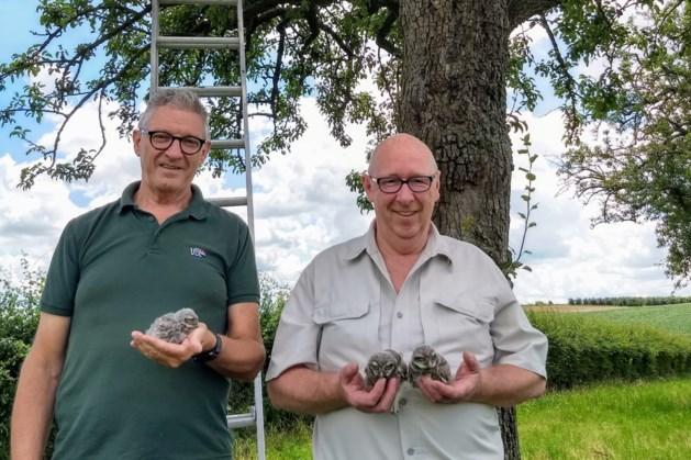 Steenuiltjes krijgen hulp via nestkastjes