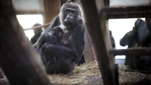 Gorilla die geen vrouwtje maar mannetje bleek te zijn weg uit GaiaZoo