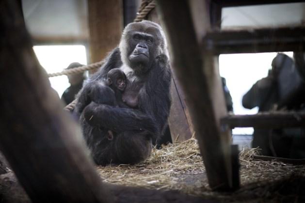 Gorilla die geen vrouwtje maar mannetje bleek te zijn verruilt GaiaZoo voor Franse dierentuin