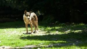 Wolf uit de Alpen zwerft door Noord- en Midden-Limburg