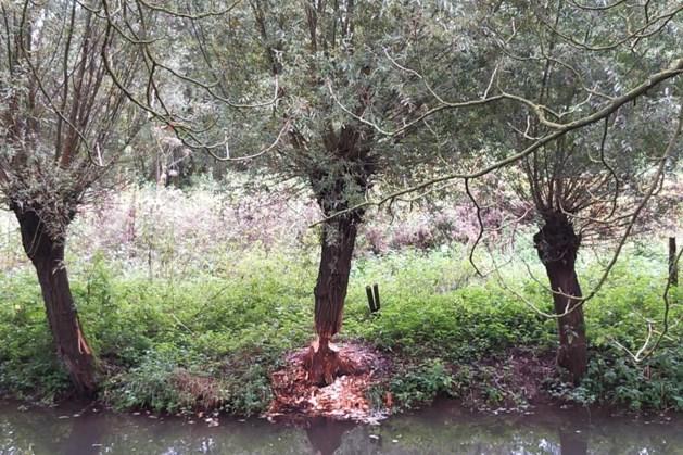Valkenburg loopt achterstand op bij onderhoud aan bomen