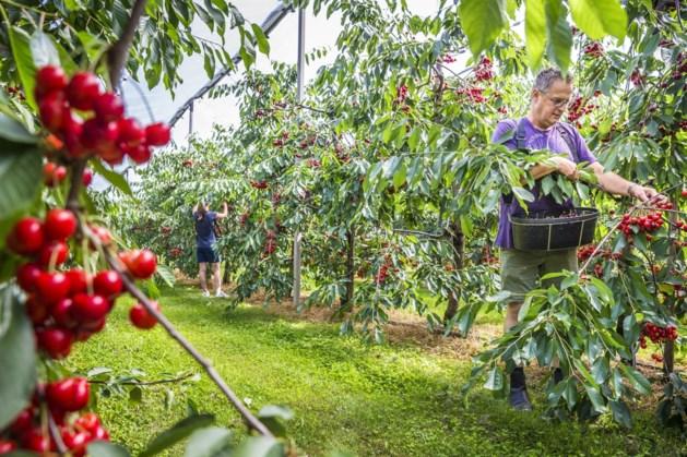 Kersenpluk in de boomgaard van Oirlose zorgboerderij