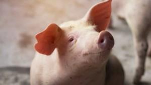 Varkensboeren halen opgelucht adem na opstarten van gesloten slachterij