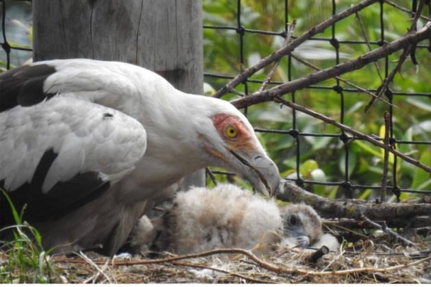 Uniek: Palmgiertje geboren in ZooParc Overloon