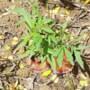 Werklui vinden wietplanten in centrum Geleen