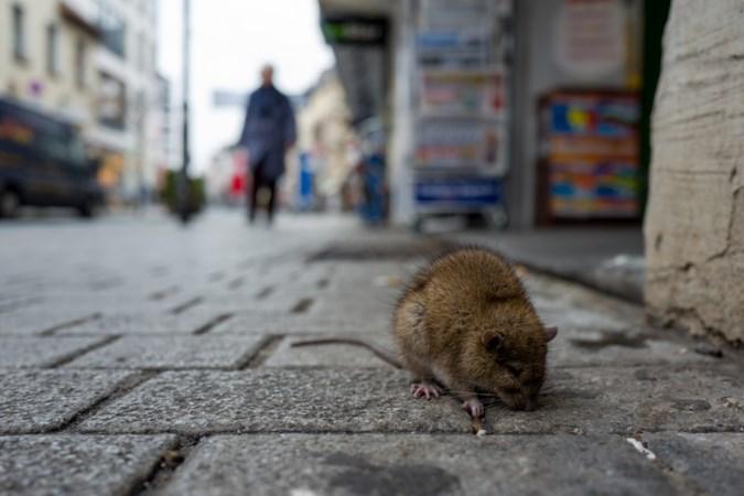 In coronatijd meer meldingen van overlast door ratten en mieren