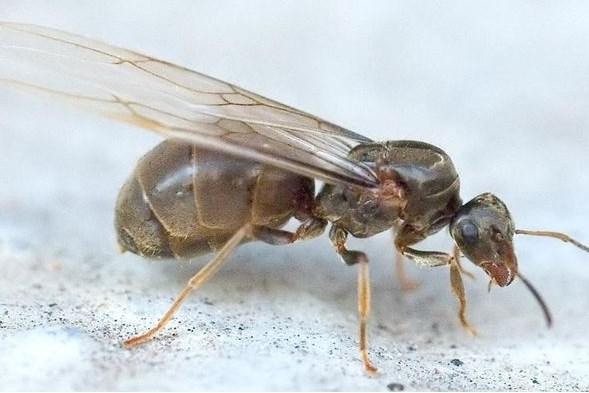 Overal vliegende mieren in de lucht, dit is waarom: 'Een prachtig fenomeen'