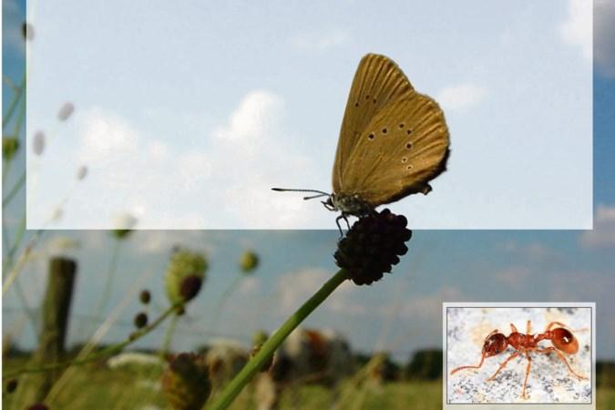 Vlinderstichting doet aangifte wegens illegaal maaien leefgebied zeldzame vlinder in Posterholt