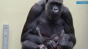 Video: Beekse Bergen trots op geboorte van weer een laaglandgorilla