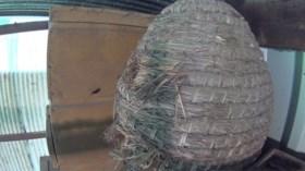 Aziatische hoornaar voor het eerst opgedoken in Limburg