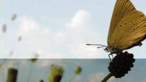 Reddingspoging voor weggemaaide zeldzame vlinder in wegberm Posterholt