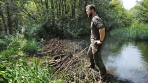 Aanpak bevers groeit Waterschap Limburg boven het hoofd