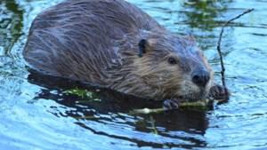 Waterschap wil hulp inroepen van jagers bij aanpak probleembevers