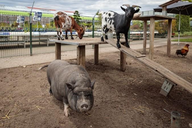 Eigenaar tuincentrum Vlodrop aangeslagen na mishandeling varken: 'De dieren zijn als huisdieren voor ons'