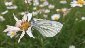Vlindertelling: geen witje zo wit of er zit wel ergens een vlekje aan