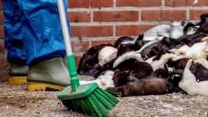 Coronavirus bij nertsenfokkerij in Boxmeer: 12.500 dieren worden geruimd