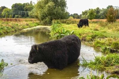 Maastricht sluit natuurpark Nazareth na de dood van drie waarschijnlijk door een hond opgejaagde Galloway-runderen