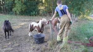 Brandweer lest dorst van droogstaande pony's in weiland