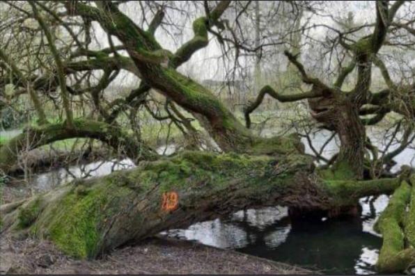 Hangende treurwilg in stadspark Sittard toch gered