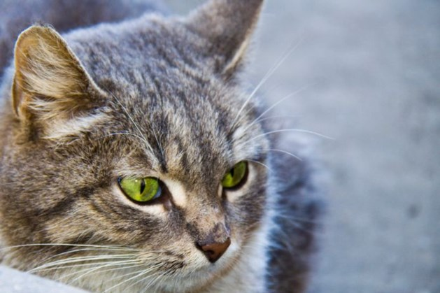 Dierenartsen waarschuwen voor dodelijke en zeer besmettelijke kattenziekte