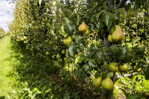 2020 goed jaar voor de peer: waarschijnlijk 12 procent meer oogst