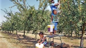 Mirabellen plukken voor een prikkie: 20.000 kilo moet van de boom