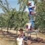 Mirabellen plukken voor een prikkie in Baarlo: 20.000 kilo moet van de boom
