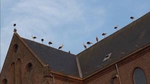 Video: tientallen ooievaars strijken neer op kerk in Ospel