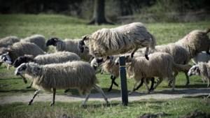 Imker én herder Elno Jongen legt bezoekers van Brunssums Emmapark uit waarom de bij zo belangrijk is