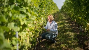 Ook wijndruiven hebben nu zonnebrand nodig