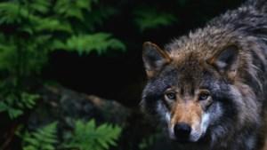 Limburg werkt samen met Brabant bij voorkomen van schade en overlast door wolf