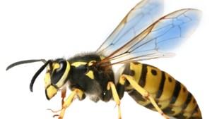 Wespenverdelgers in Limburg hebben handen vol en het ergste komt nog