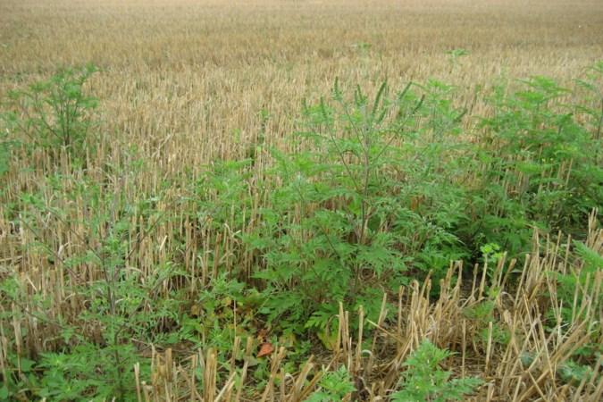 Platform wil verkoop van zaden van exotische 'hooikoortsplant' in de ban doen