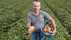 Subtropische zoete aardappel uit Limburg: 'Met deze zomers lukt het wel'