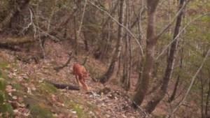 Eindelijk fotobewijs: na twee eeuwen is de lynx terug in België