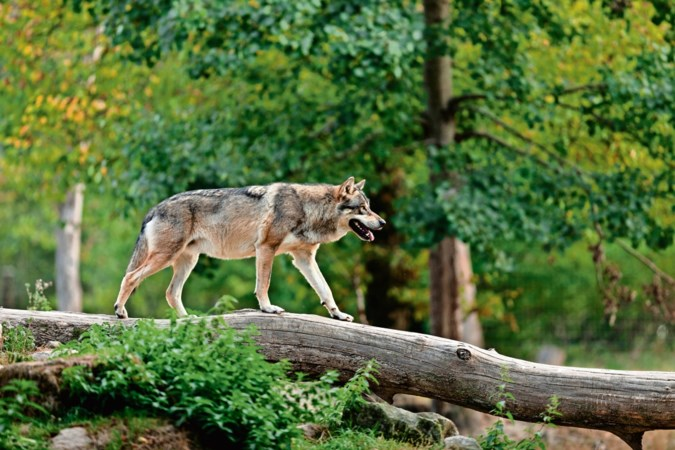 Bang voor de wolf? Hij is veel banger voor ons
